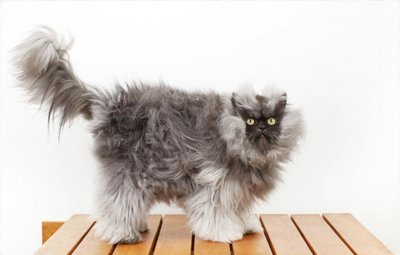 Colonel Meow named world's furriest cat