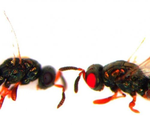 Scientists engineer red-eyed mutant wasps
