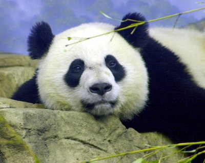 National Zoo panda may be pregnant