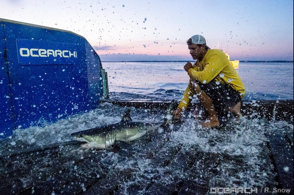 Watch researchers catch baby great white during facebook live video watch researchers catch baby great white during facebook live video upi publicscrutiny Gallery