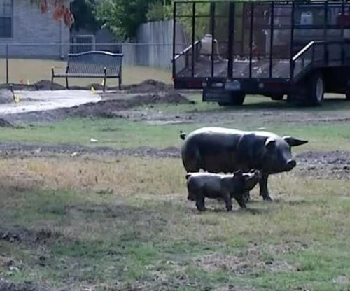 Bronze pig statue stolen from Texas park