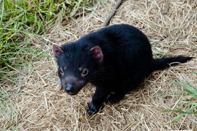 New type of face cancer threatening Tasmanian devils