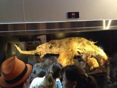Well-preserved baby woolly mammoth carcass on display in Moscow