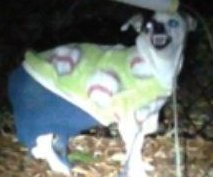 Police seek owner of Chihuahua found wearing Christmas sweater, blue pants