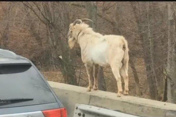 Watch: 'Houdini' the goat haunts Kentucky highway - UPI com