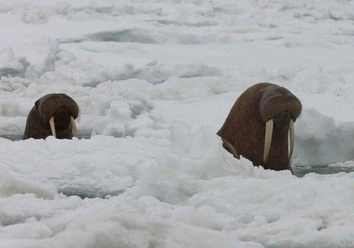 Environmental groups sue to protect Pacific walrus