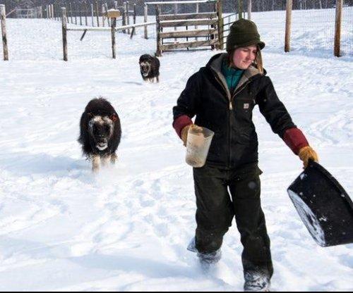 Alaskans try farming musk ox for luxury fiber