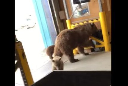 Alaska worker chases grizzly bear and cubs out of warehouse