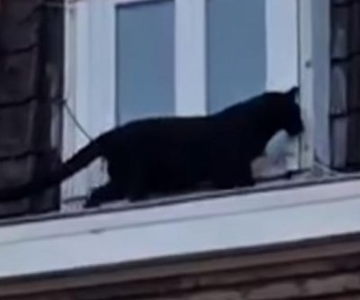 Black panther captured after walking rooftops in French town