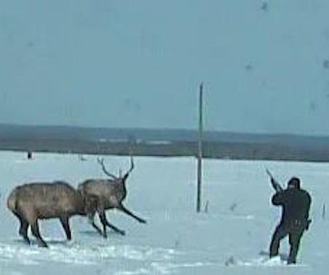 Wildlife officer separates fighting elk by shooting interlocked antlers