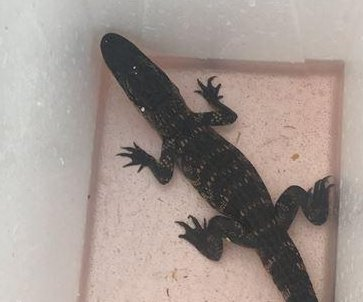 Alligator found abandoned in cooler in Tennessee