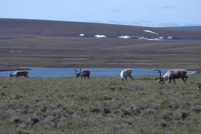 Researchers ponder conundrum of disappearing Arctic caribou