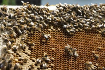 Older bees influence younger bees to fan wings, cool hive