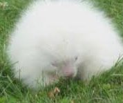Albino porcupine draws crowds outside Maine museum