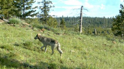 Authorities investigating Washington farmer's role in wolf killing
