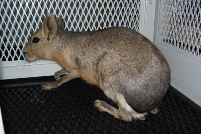 'Kangaroo' in Las Vegas parking lot was a South American rodent