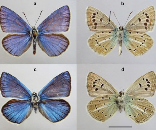 New butterfly species with 46 chromosomes discovered in Russia