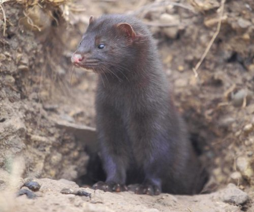 Animal rights activists arrested by FBI for mink-freeing spree