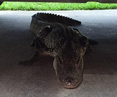 Alligator found 'looking for some shade' in Texas driveway