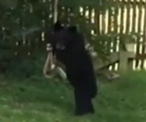 Bear cub plays with backyard rope swing in New Hampshire