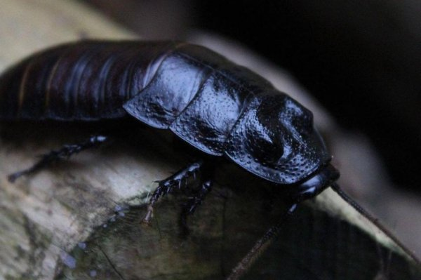 Name a Cockroach after your Ex for VDay