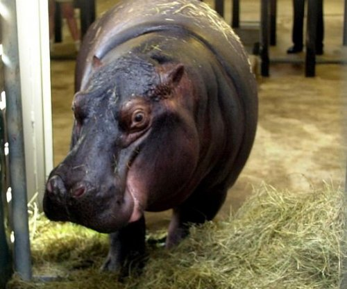 Hippo found dead following Taiwan car crash