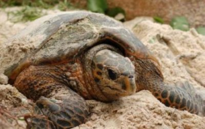 Mating study made of endangered turtles