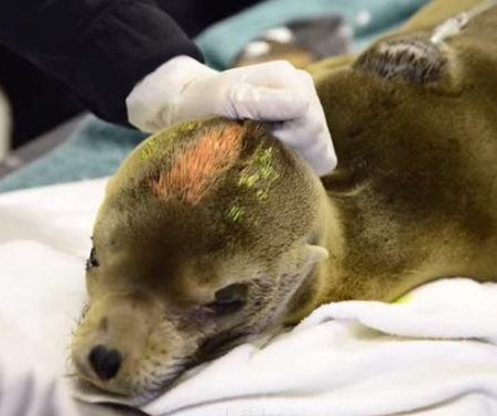 Hungry sea lion pups reaching Calif. beaches, experts say