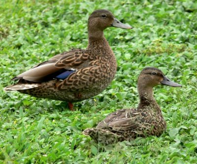 Efforts to preserve endangered Hawaiian duck's genetic diversity working, study finds