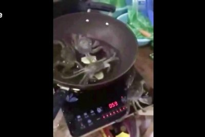 Crab climbs out of pot, switches off hot plate