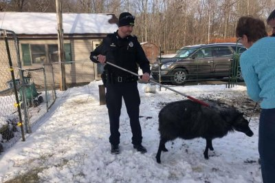 Escaped sheep wrangled after over a month in Maine