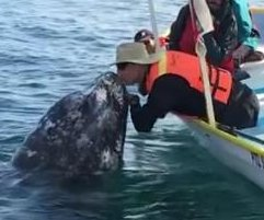 Whale leans in for a kiss from tourist on boat in Mexico