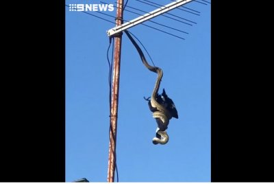 Python captures big bird on rooftop TV antenna