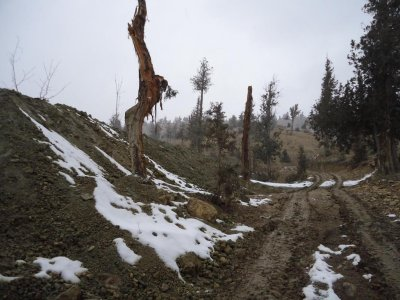 Major Pakistani juniper forest in danger of vanishing