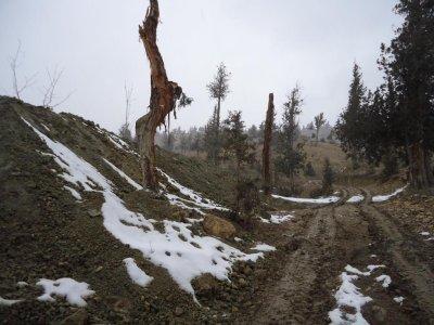 Major Pakistani juniper forest in danger of vanishing