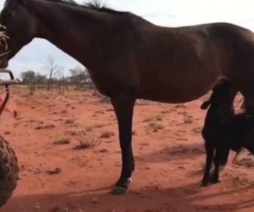 Childless horse adopts orphaned calf in Australia