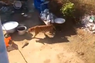 Gate-crashing tiger sends wedding guests to the roof