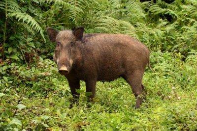 Wild, 'destructive' pigs help cultivate biodiversity in their native rainforests