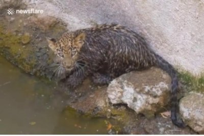 Watch:-Leopard-cub-hoisted-out-of-well