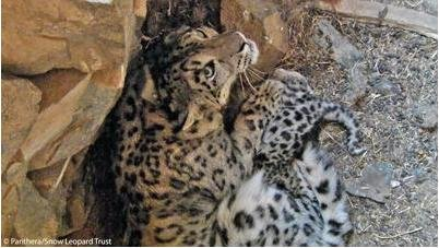 Elusive snow leopards filmed in Mongolia