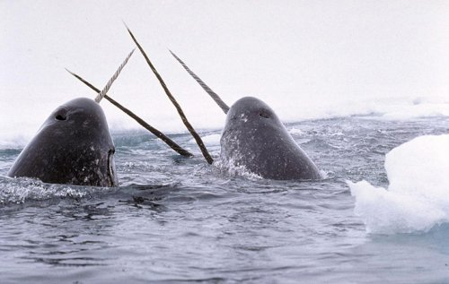 Man convicted of smuggling narwhal tusks from Canada to United States