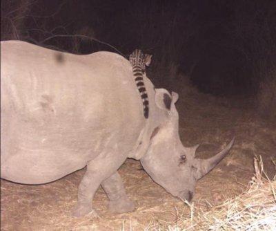 Wildlife cam catches genet riding on black rhino's back