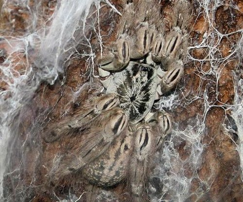 Tarantula toxins may help treat pain in many conditions