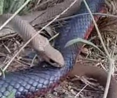 Deadly brown snake loses fight to red-bellied black snake in Australia