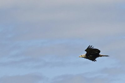 An eagle's gliding ability relies on its wrist movements