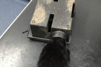 Look:-Cat's-head-stuck-inside-rat-trap-in-Wales
