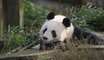 Edinburgh Zoo says panda Tian Tian no longer pregnant