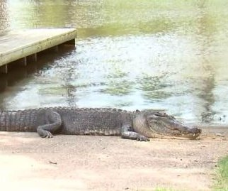 Alligator that killed Texas man found illegally shot to death
