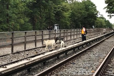 Escaped goats wander onto New York subway tracks