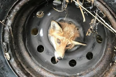 Fox with head stuck in tire rescued in Britain